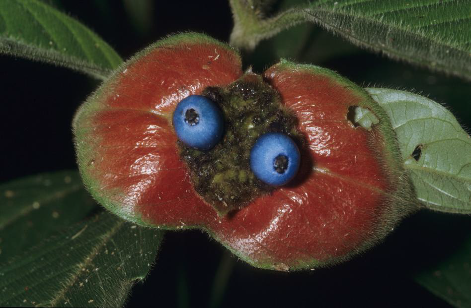 Pollination and Fragrances in Maxillarieae