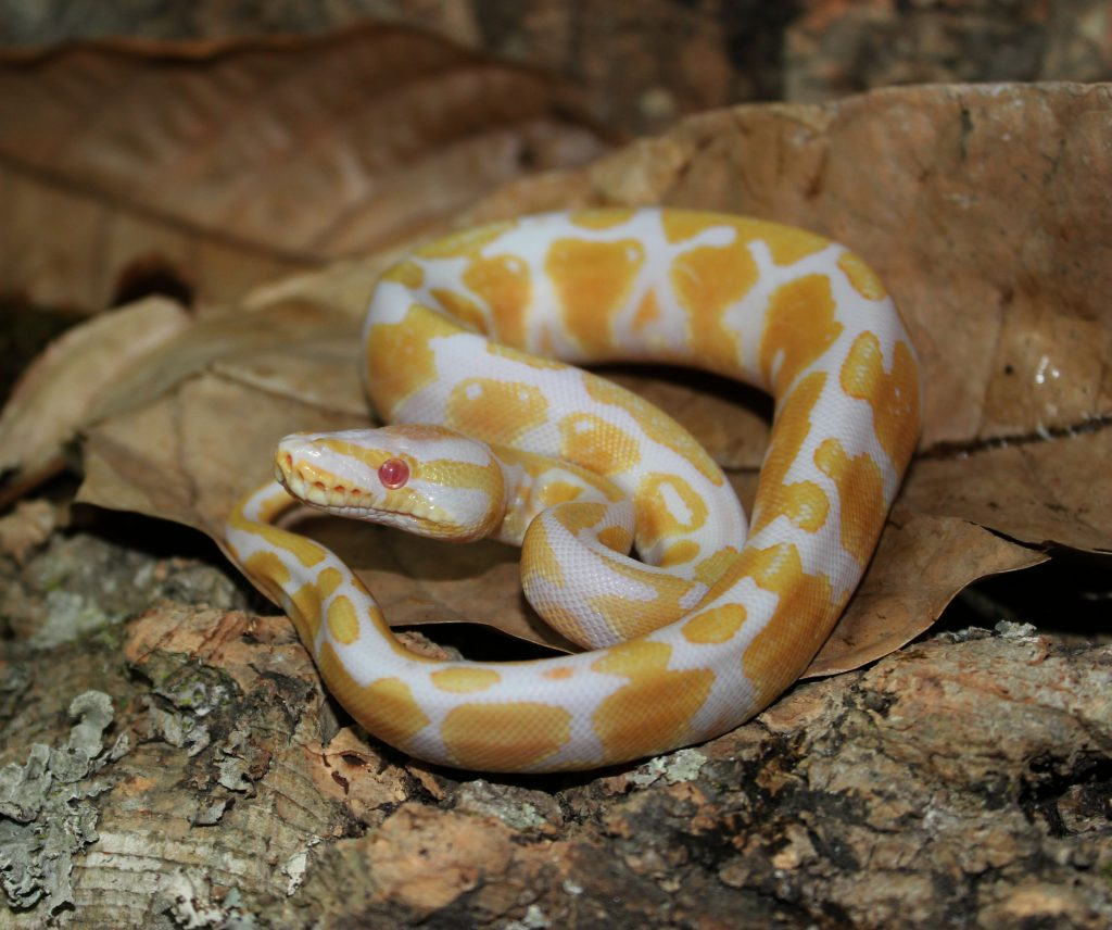 Albinopython